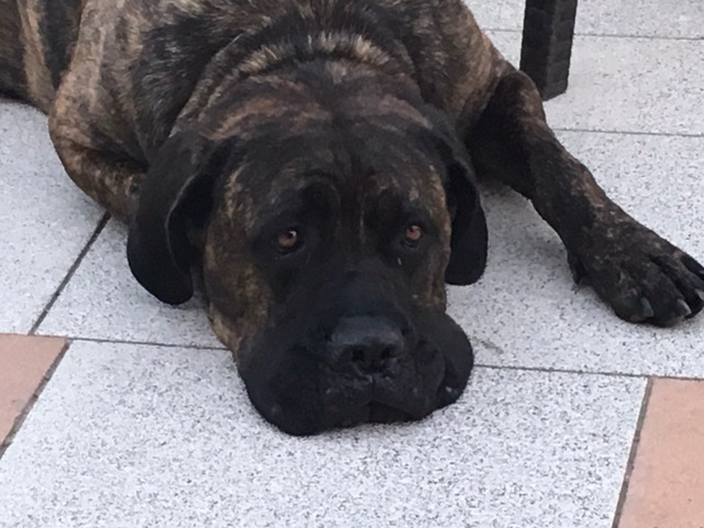 Image of a big dog looking sorry and tired