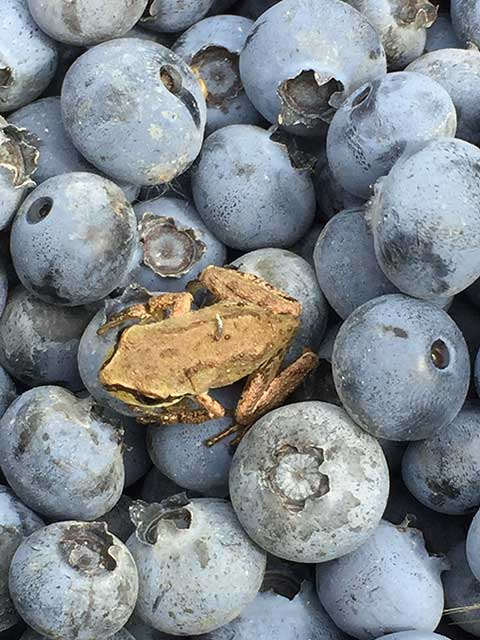 Image of blueberries and a brown frog sitting on them