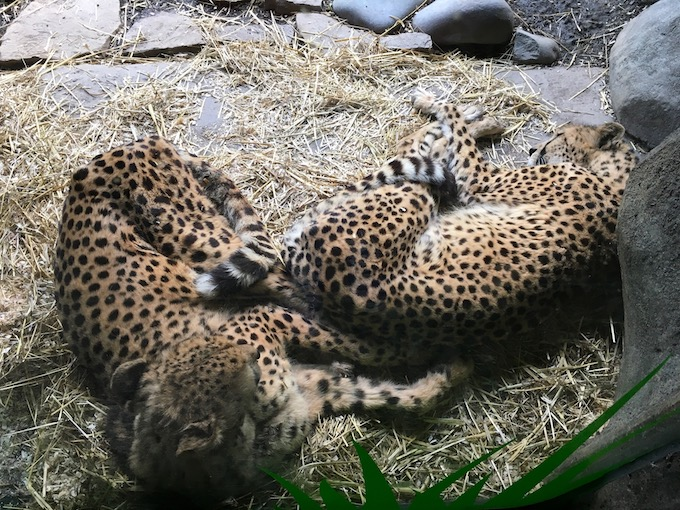 Image of cheetahs sleeping