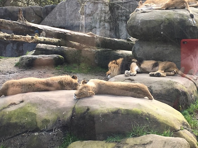 image of lions sleeping on rocks at the zoo