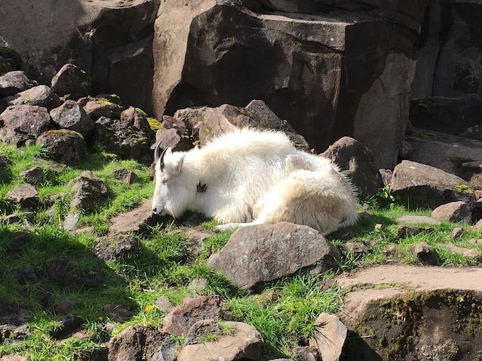 image of a white mountain goat