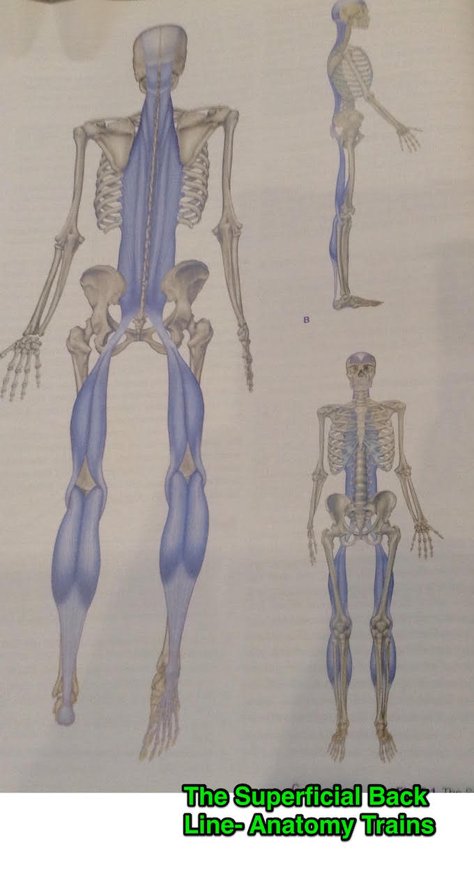 Image of illustration of super fascial back line
