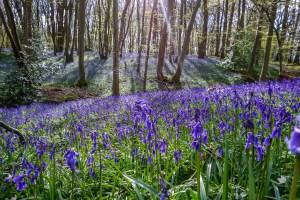 bluebell-spring