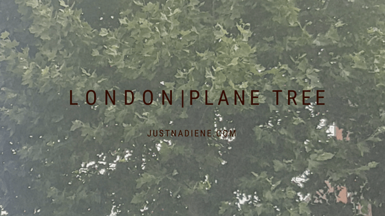 London Plane – Our special trees