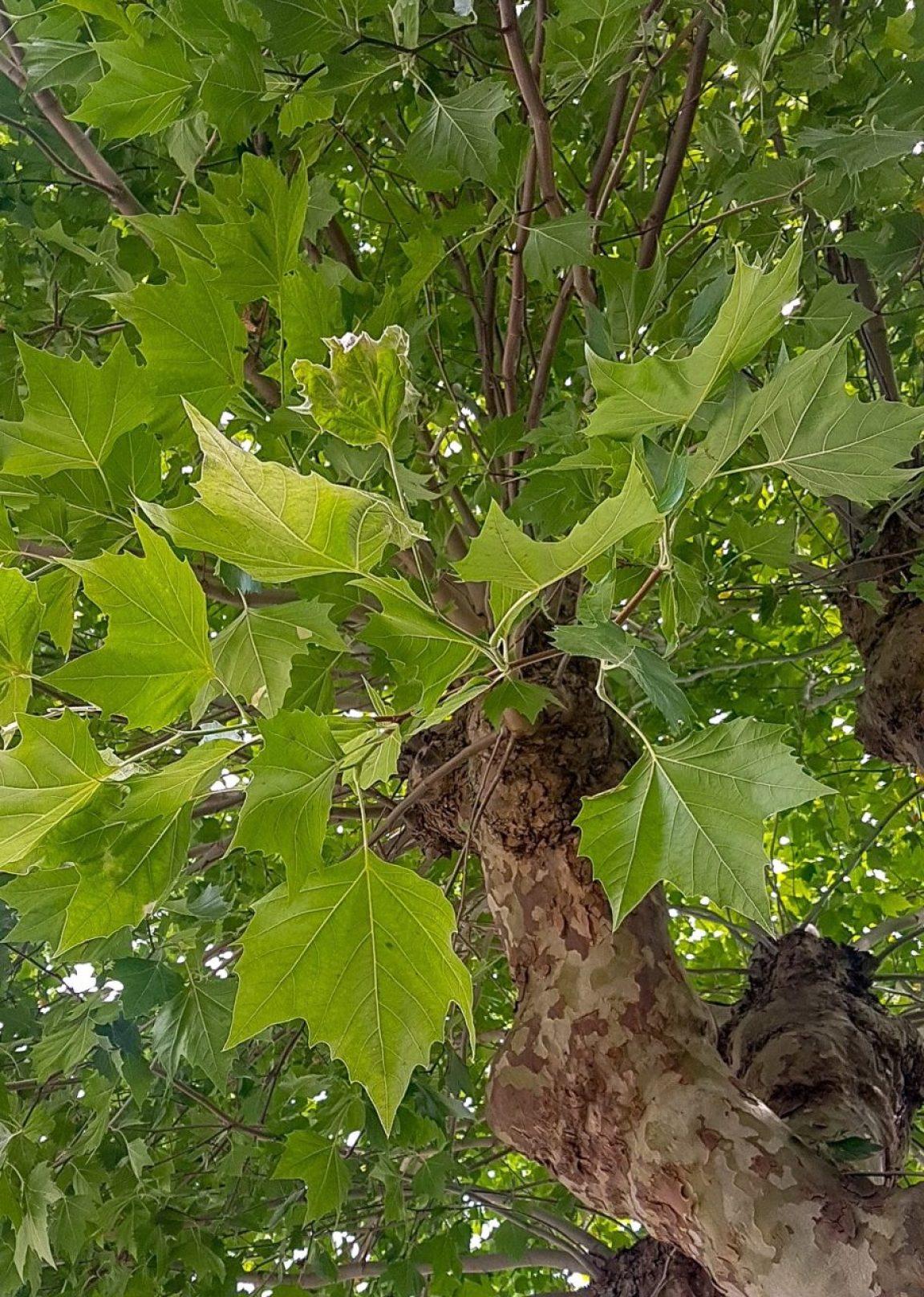London-Plane-tree-leaf.jpg