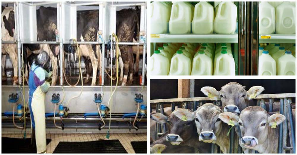 The Dirty Underbelly of the Dairy Industry