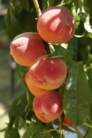 Peach Beauty Shot