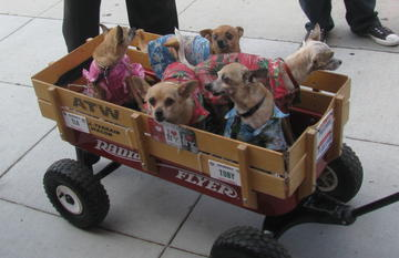 wagon-full-of-chis