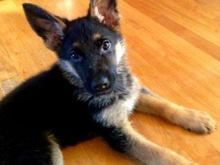 sweet marshal dillon dingle puppy