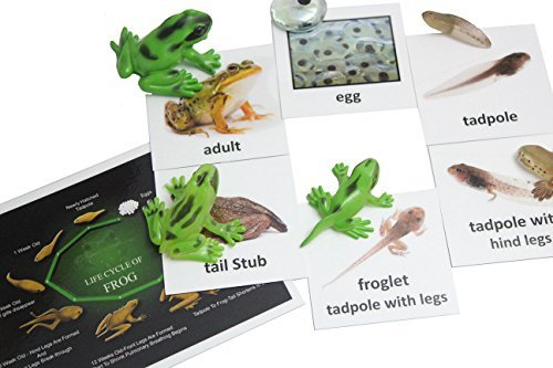 Science tools for teaching the life cycle of a frog