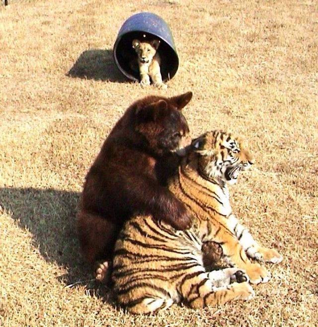 http://justsomething.co/wp-content/uploads/2019/11/lion-tiger-and-bear-were-rescued-as-cubs-and-now-they-are-best-friends-06.jpg