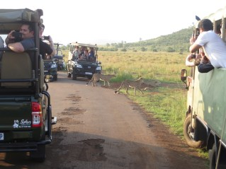 Liz and I were manifesting that we were going to see rare animals...And success! We saw Cheetah's which, according to our ranger, is a very unique experience! The surrounding safari cars were equally as excited as us!