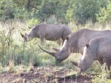 Rhino's with their magnificent horns. Sadly these animals are predicted to be extinct in the next 5-10 years.