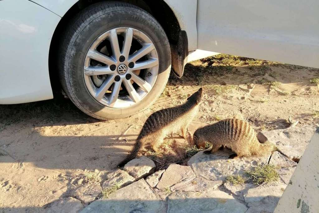 Two meerkats inspecting the car