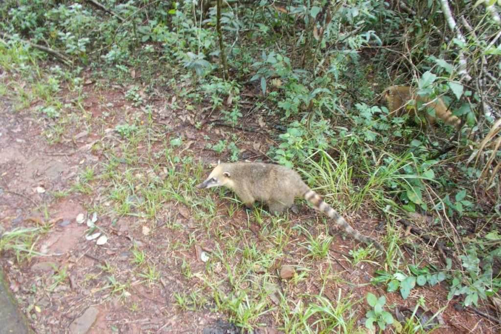 Coatis walking around the jungle