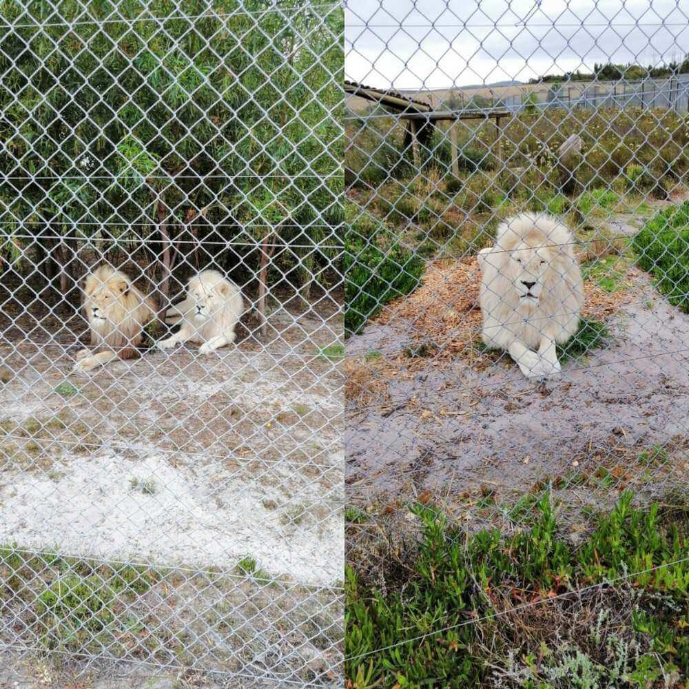 Three of the male lions at Panthers Africa Big Cat Sanctuary