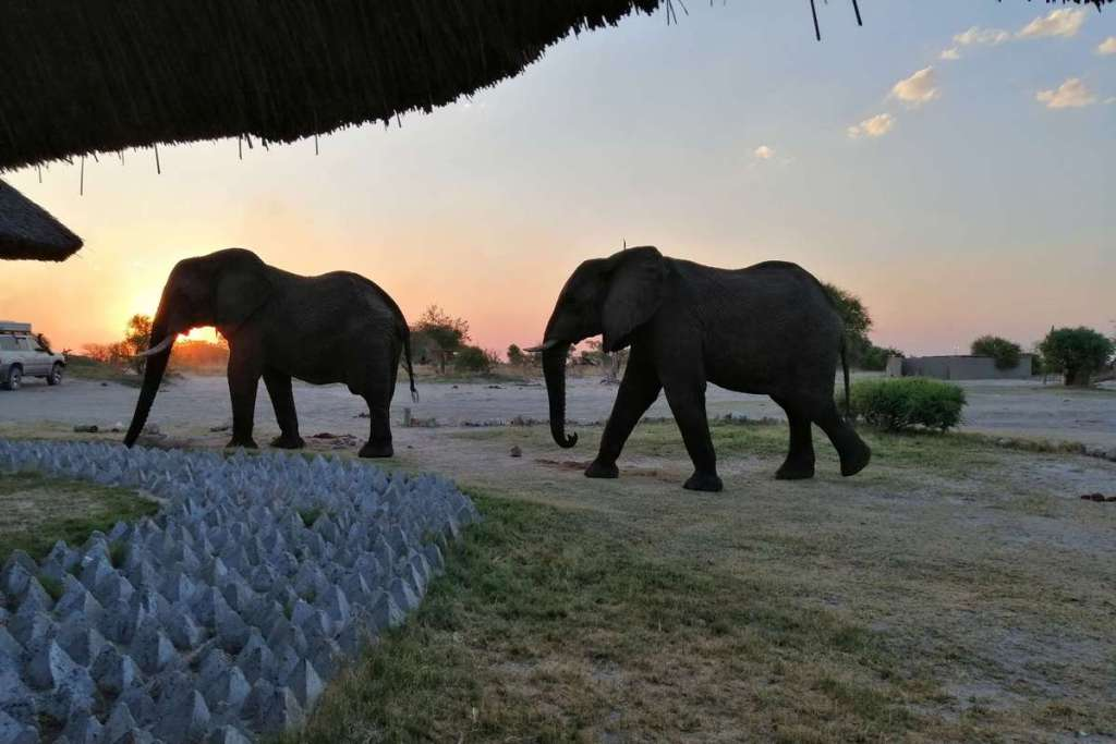 Two elephants walking into the sunset
