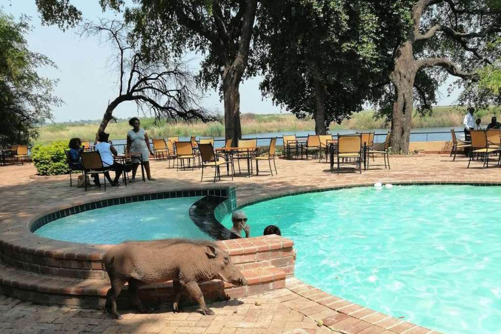Warthog by the swimming pool