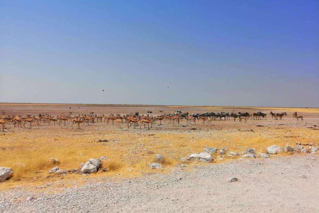 Herds of antelope in Etosha National Park, Namibia
