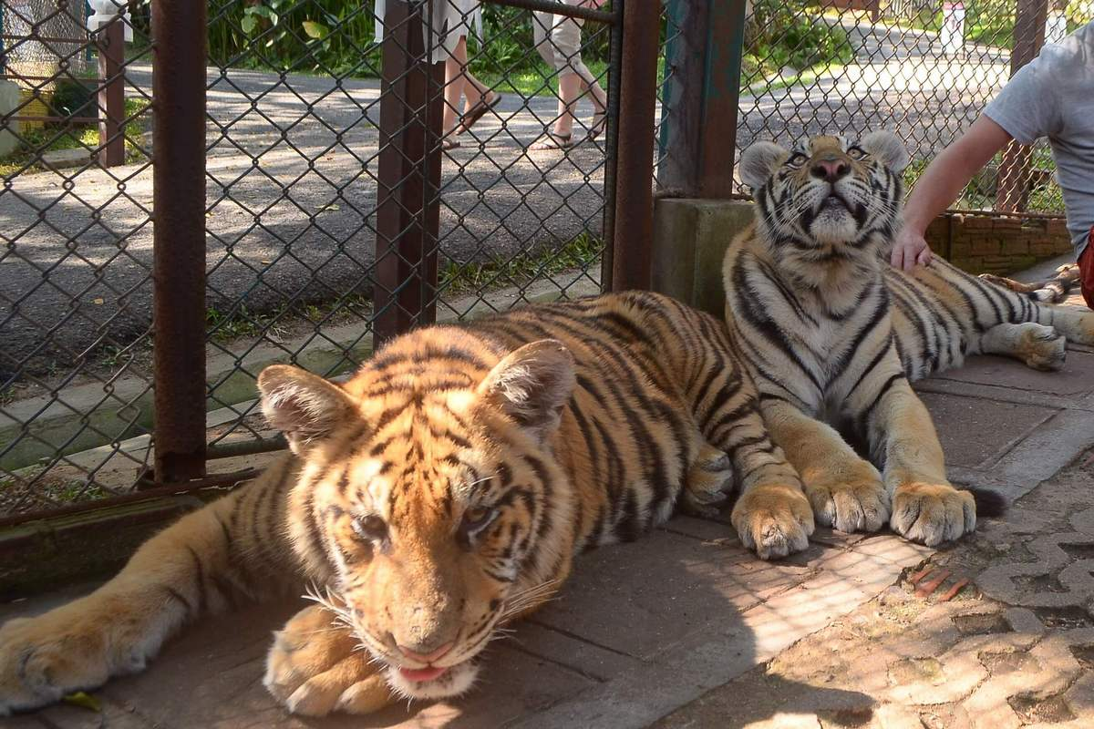 Is it ethical to go to a big cat petting zoo?