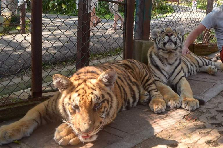 Two young tigers at a big cat petting zoo