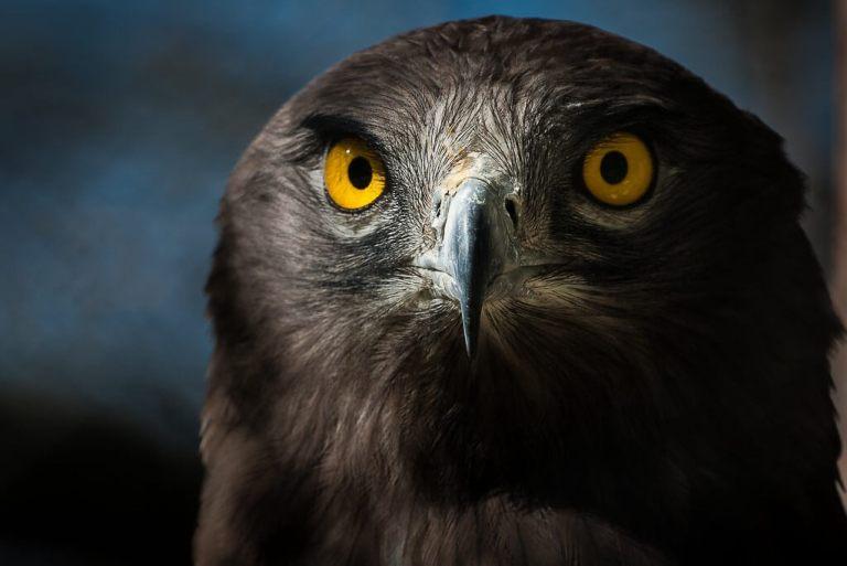 Short toed eagle by Ignacio Ferre Pérez