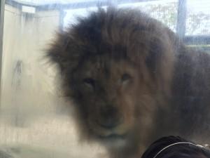 京都市動物園 活発なライオン
