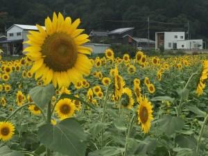 兵庫県丹波市ひまわり柚遊農園 ひまわり畑