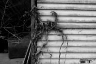 Beechgrove016bw