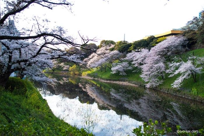 千鳥ヶ淵 江戸城 桜