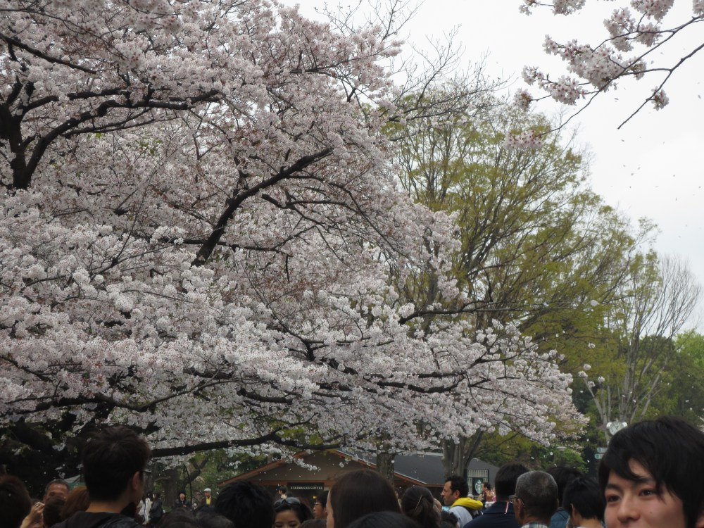 Bucket list moment in Japan: Witnessing the awesome Cherry Blossom Festival...in person. (1/6)