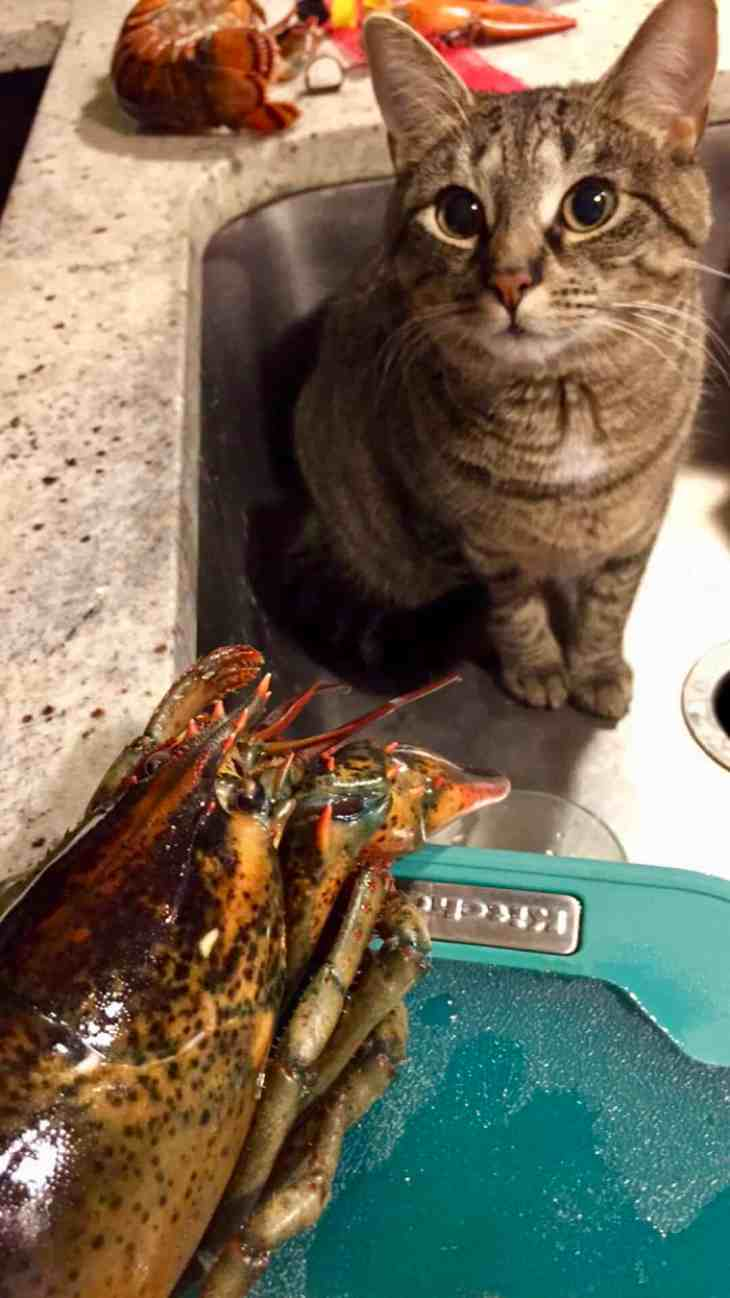Cat sitting in sink next to lobster