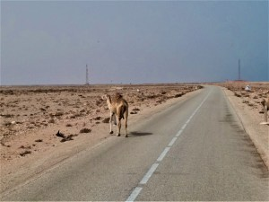 K in Motion Travel Blog. Southern Morocco and Western Sahara. Camel on the Road