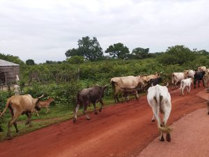 K in Motion Travel Blog. 6 Things To Know About Travel in Africa. Cows