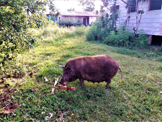 K in Motion Travel Blog. Tantalisingly Tropical Tonga. Tongan Boar