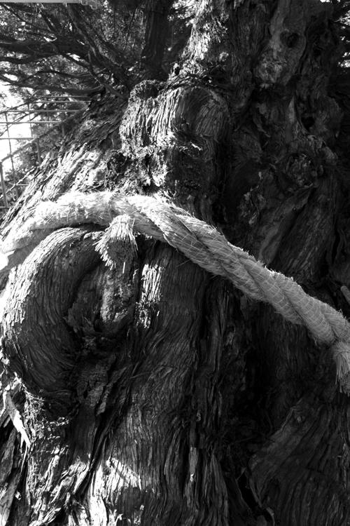 大湫 シンボルの杉