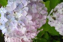 紫陽花・・・たくさんの小さい花が集まって咲くきれいな紫陽花は、初夏を彩る代表的な花として人気があります。 紫陽花は土壌の性質や、咲いてから散るまでの間に花の色を変えることから「七変化」「八仙花」などの別名もあります。 そんなアジサイの代表的な花言葉は「移り気」