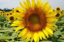 ひまわり・・・花は黄色で、種は食用となる。「日回り」と表記されることもあります。花言葉は「憧れ」など。