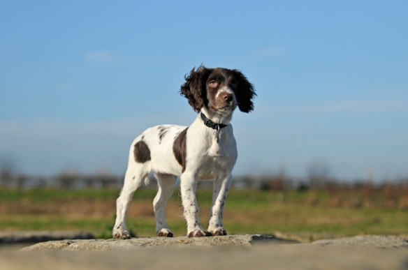 Bo - 14 Weeks old - Springer Spaniel Puppy