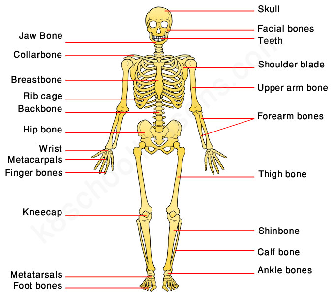 Human Skeletal System Images | Newwallpapers.org