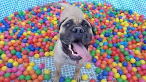 Bullmastiff-dog-training