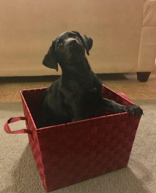 Labrador Retriever Training for  Colleyville Texas