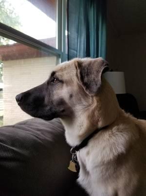 Anatolian Shepard Dog Training Dallas
