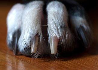white dog nails