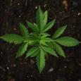 marijuana for dogs