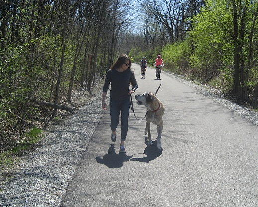 Max applies his Canine Good Citizen skills along the Monon Trail in Carmel, Indiana