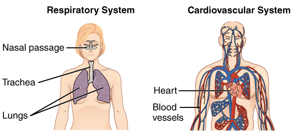 Gewebe, Organe und Organsysteme   Biologie Ph.D