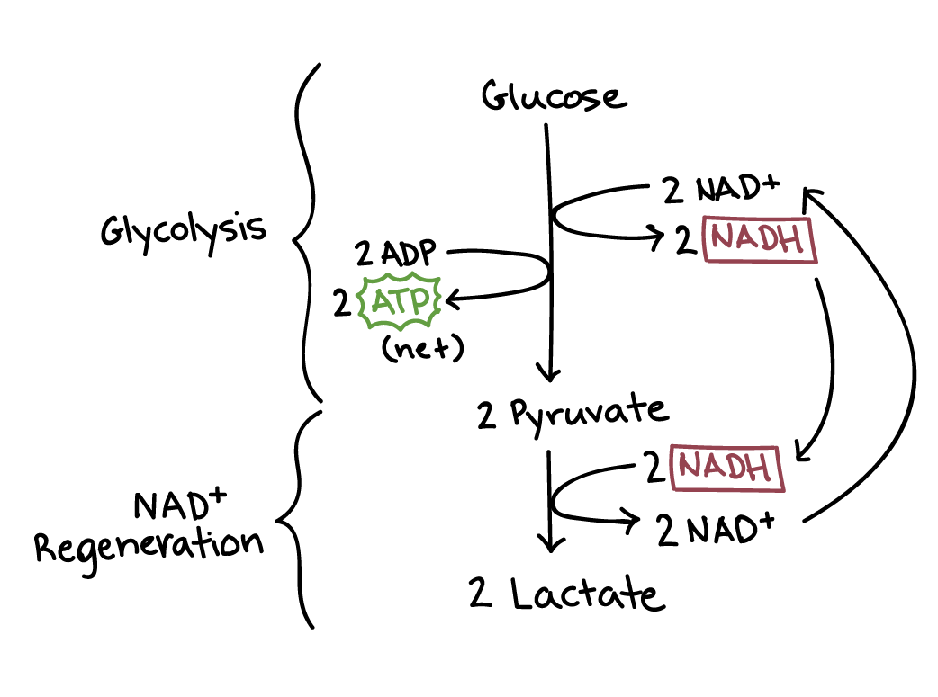 Fermentation Lactic Acid Anaerobic Pathways