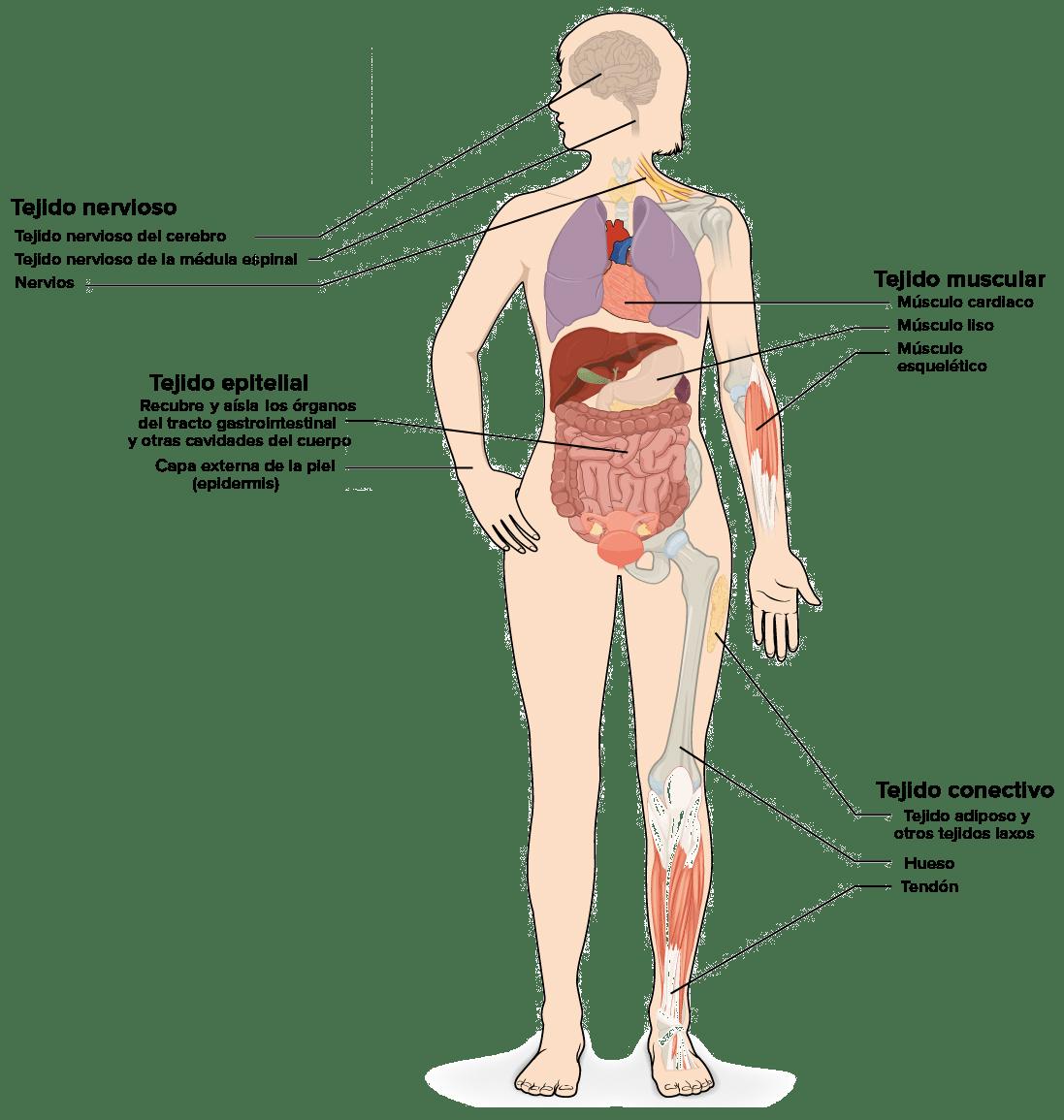 Musculos Del Cuerpo Humano Dibujo