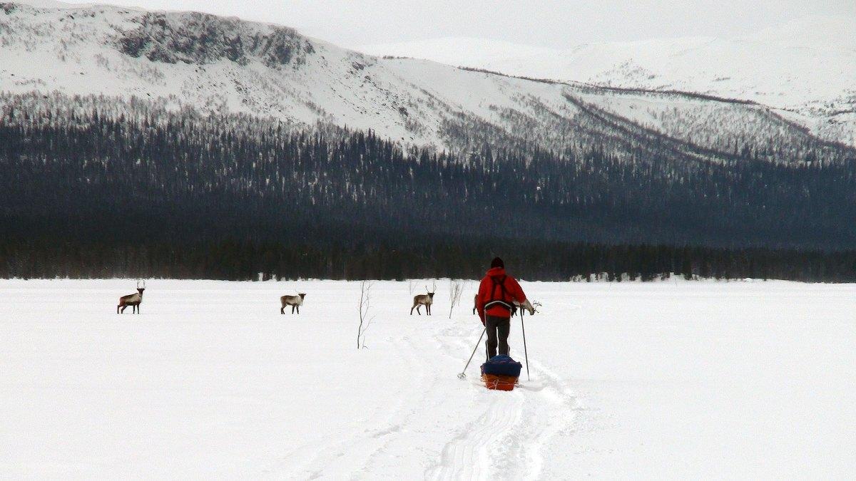 Møte med reinsdyr på Peuraure.